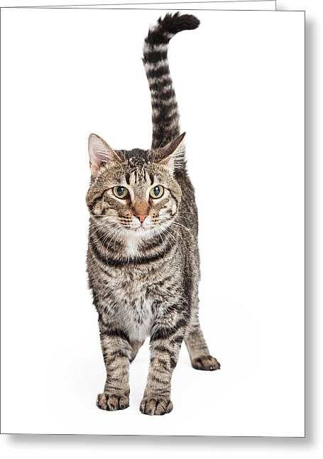 Domestic Animal Greeting Cards - Domestic Shorthair Tabby Cat Standing Greeting Card by Susan  Schmitz