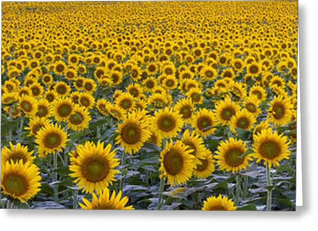 Yellow Sunflower Greeting Cards - Domestic Sunflower Field Greeting Card by Kenneth M Highfill