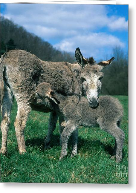 Jackass Foal Greeting Cards - Donkey With Young Greeting Card by Hans Reinhard