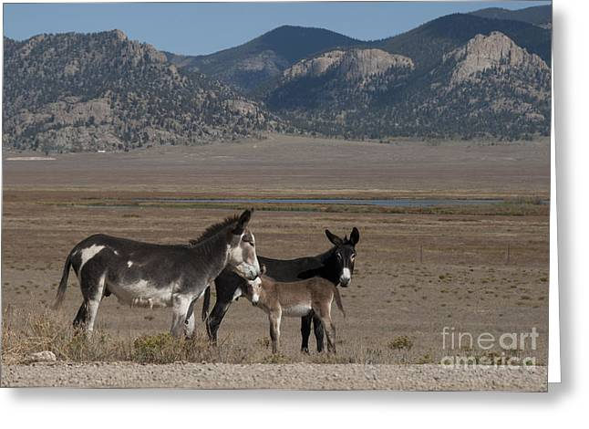Hoofs Greeting Cards - Donkeys in the Colorado Rockies Greeting Card by Juli Scalzi