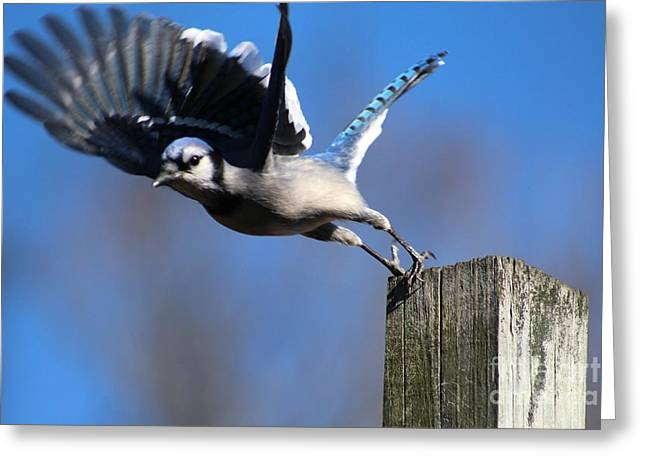 Jaybird Greeting Cards - Dont Jump Greeting Card by Connie Mueller