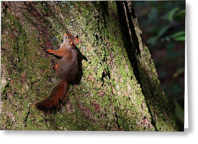 Fox Squirrel Greeting Cards - Dont Move Greeting Card by Ella Char