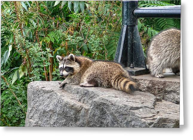 Bothers Greeting Cards - Dont you dare to come closer to my throne coon Greeting Card by Eti Reid
