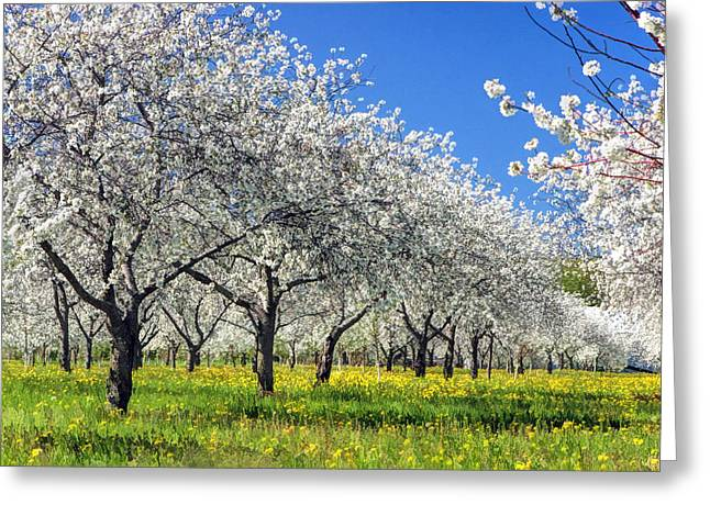 Door County Greeting Cards - Door County Cherry Blossoms Greeting Card by Christopher Arndt