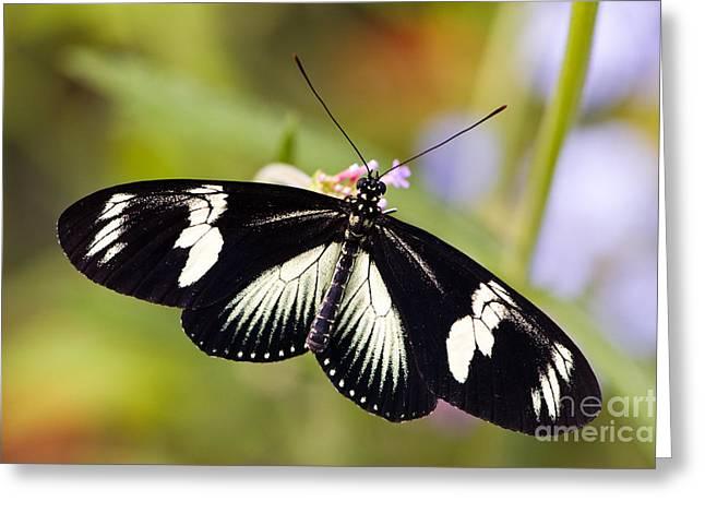 Doris Longwing Butterfly Greeting Card by Oscar Gutierrez