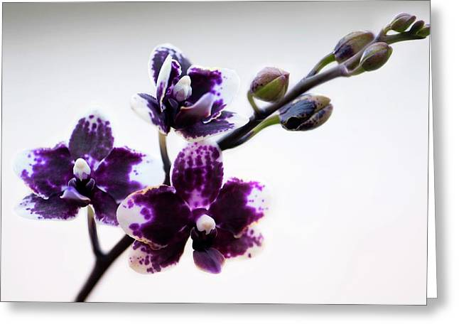 Doritaenopsis Sogo Chabstic Orchid Greeting Card by Maria Mosolova