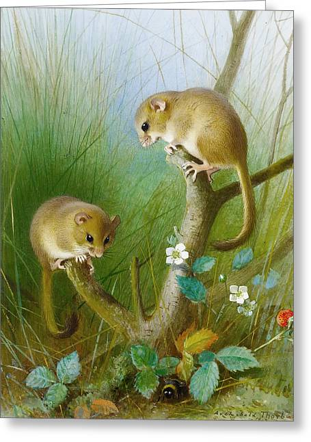 Dormouse Greeting Cards - Dormice Greeting Card by Thorburn