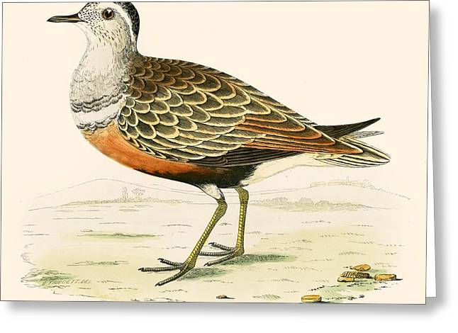 Hunting Bird Photographs Greeting Cards - Dotterel Greeting Card by Beverley R. Morris
