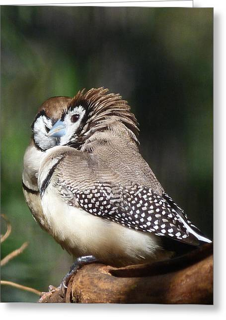 Saheed Greeting Cards - Double-barred Finch Tete-a-tete Greeting Card by Margaret Saheed