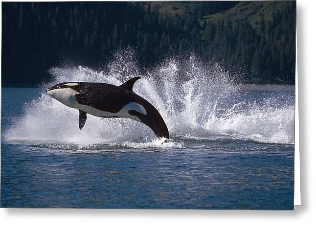 Double Breaching Orcas Bainbridge Greeting Card by Calvin Hall