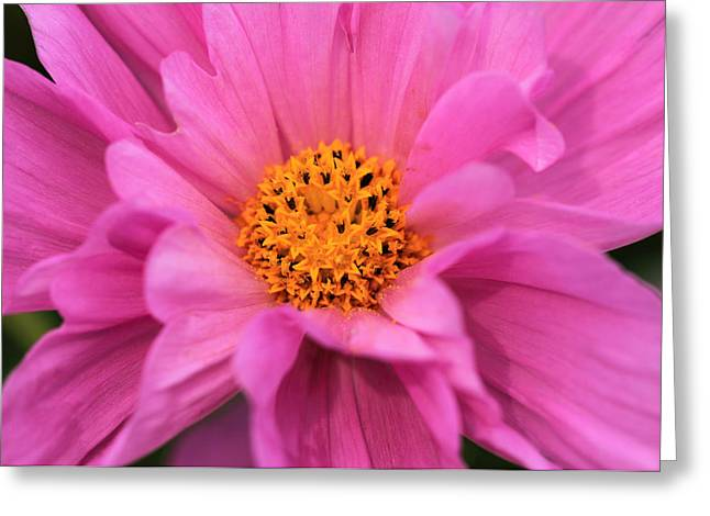 Pinks And Purple Petals Photographs Greeting Cards - Double Click Pink Cosmos Greeting Card by Rachel Cohen