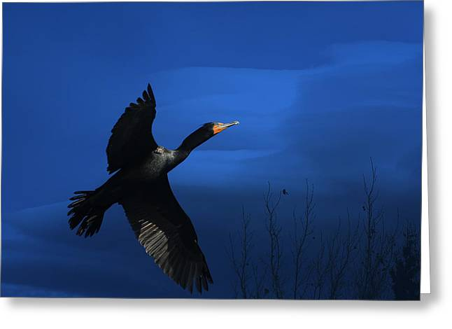 Cormorant Greeting Cards - Double-crested Cormorant Greeting Card by Donna Kennedy
