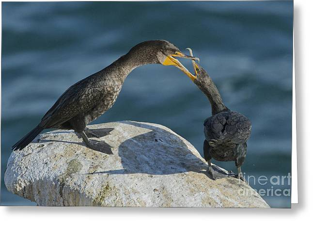 Double-crested Cormorant Greeting Cards - Double-crested Cormorants Greeting Card by Anthony Mercieca