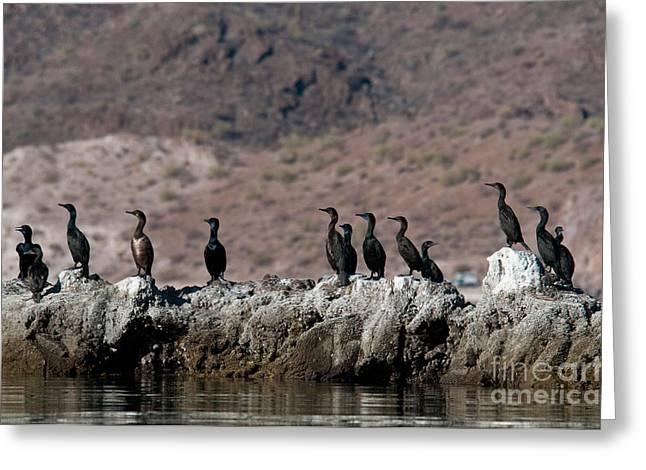 Phalacrocorax Auritus Greeting Cards - Double-crested Cormorants Phalacrocorax Greeting Card by Mark Newman
