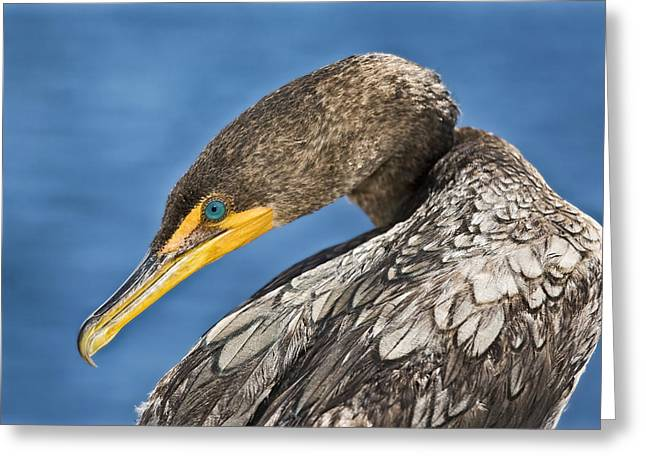 Double-crested Cormorant Greeting Cards - Double Crested  Greeting Card by Patrick M Lynch