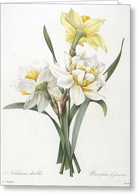 Labelled Greeting Cards - Double Daffodil Greeting Card by Pierre Joseph Redoute