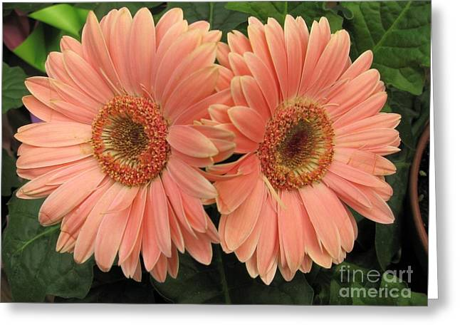 Double Delight - Coral Daisies Greeting Card by Dora Sofia Caputo Photographic Art and Design