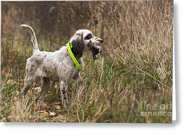 Gun Dog Greeting Cards - Double Duty - D009287 Greeting Card by Daniel Dempster