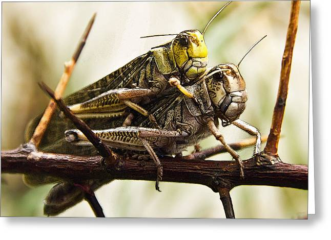 Grasshoppers Greeting Cards - Double Grasshoppers Greeting Card by Christine Sponchia