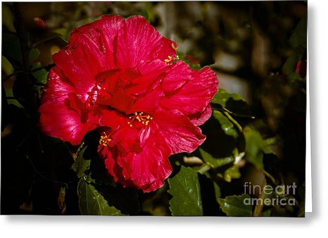 Haybales Greeting Cards - Double Hibiscus Greeting Card by Robert Bales
