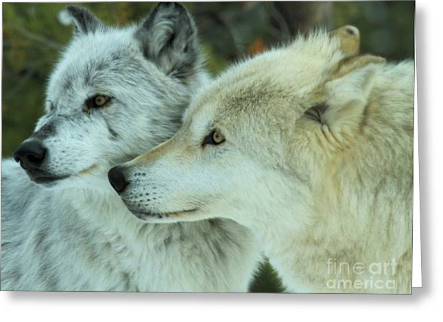 Alpha Wolf Greeting Cards - Double Look Greeting Card by Adam Jewell