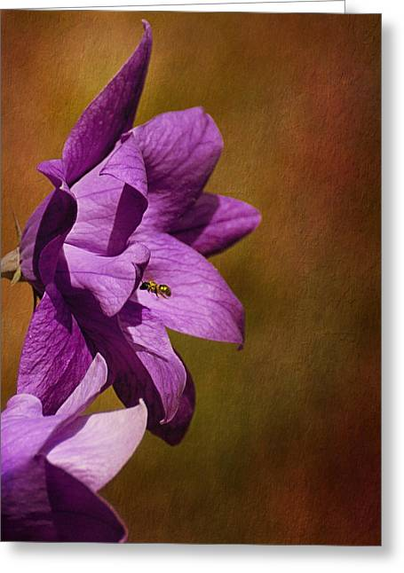 Balloon Flower Greeting Cards - Double Purple Balloon Flower Greeting Card by Mel Hensley