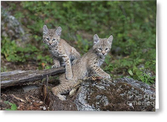 Lynx Rufus Greeting Cards - Double Trouble Greeting Card by Sandra Bronstein