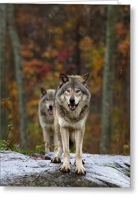 Jim Cumming Greeting Cards - Double Trouble - Timber Wolves Greeting Card by Jim Cumming