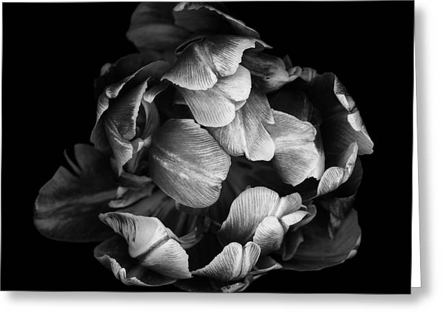 Isolated Against Black Background Greeting Cards - Double tulip Greeting Card by Oscar Gutierrez