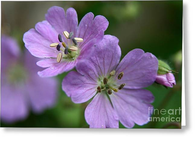 Flower Photography Greeting Cards - Double Violet  Greeting Card by Neal  Eslinger