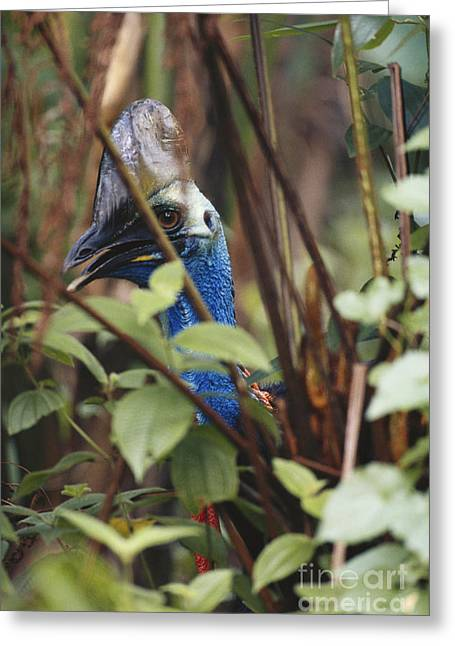Hiding Behind Greeting Cards - Double-wattled Cassowary Greeting Card by Art Wolfe