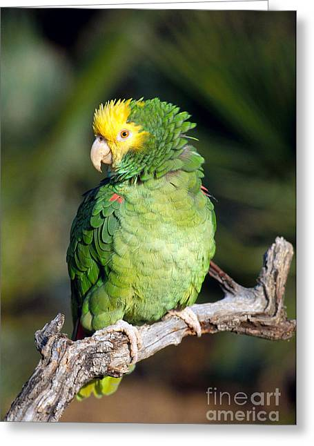 Amazon Parrot Greeting Cards - Double Yellow Headed Parrot Greeting Card by Anthony Mercieca