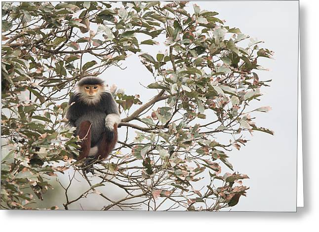 Douc Langur Female Vietnam Greeting Card by Cyril Ruoso