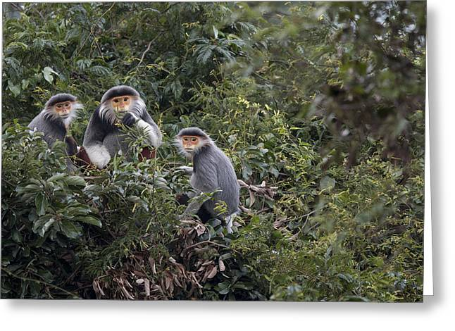 Douc Langur Male And Females Vietnam Greeting Card by Cyril Ruoso