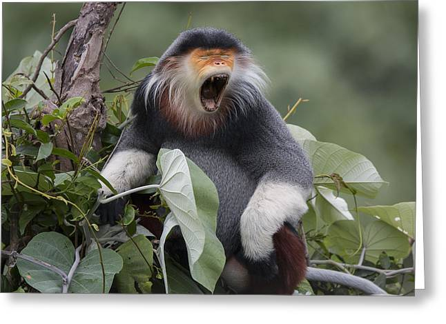 Douc Langur Male Yawning Vietnam Greeting Card by Cyril Ruoso