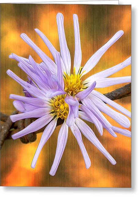 Aster Greeting Cards - Douglas Aster on Amber Greeting Card by Bill Tiepelman