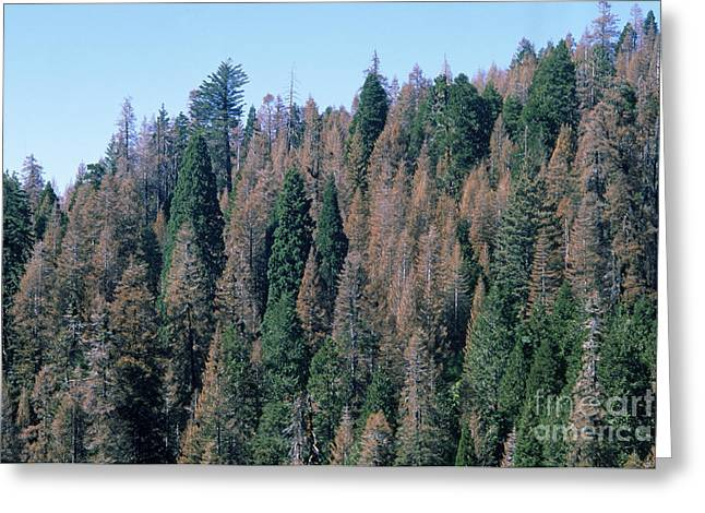 Kings Canyon National Park Greeting Cards - Douglas Firs Greeting Card by Gregory G. Dimijian, M.D.