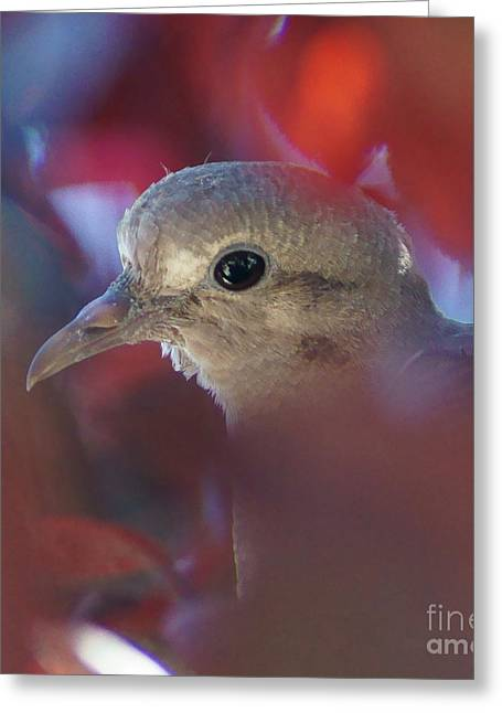 Dove L Greeting Card by D C