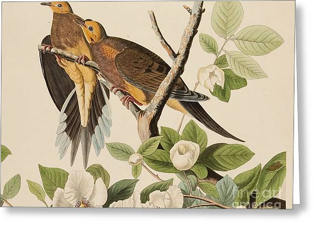 Wild Life Drawings Greeting Cards - Doves Greeting Card by John James Audubon
