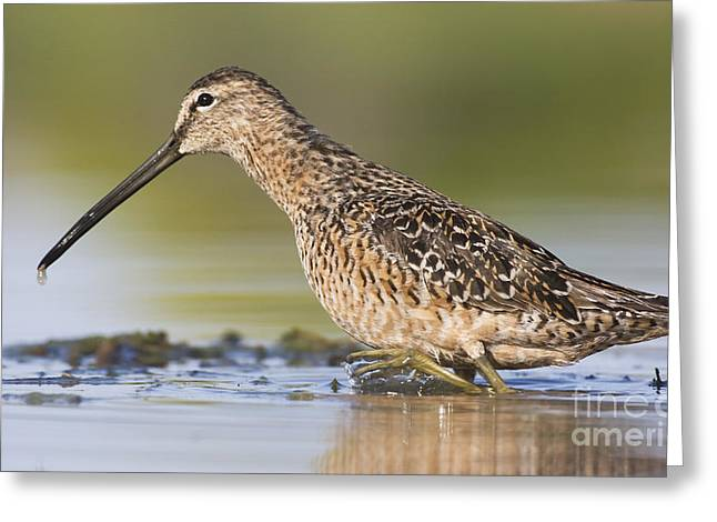 Ruth Jolly Greeting Cards - Dowitcher in the water Greeting Card by Ruth Jolly