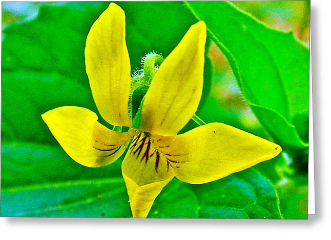 Natchez Trace Parkway Greeting Cards - Downey Yellow Violet at Sweetwater Branch on Natchez Trace Parkway-Tennessee  Greeting Card by Ruth Hager