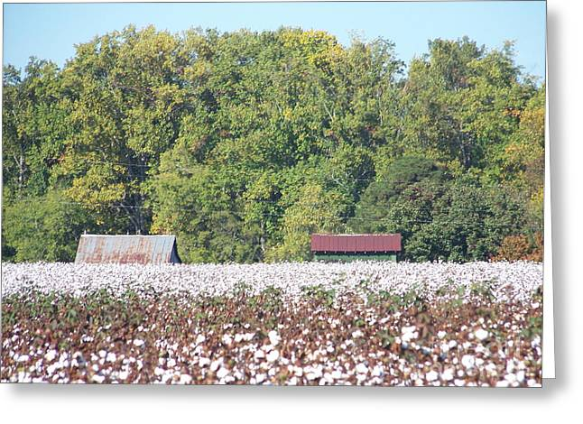 Kevin Croitz Greeting Cards - Downhome Cotton Field Greeting Card by Kevin Croitz
