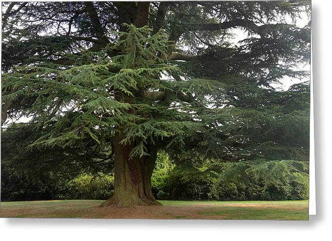 Mcgovern Greeting Cards - Downton Abbey Cedar Tree Greeting Card by Jan Cipolla