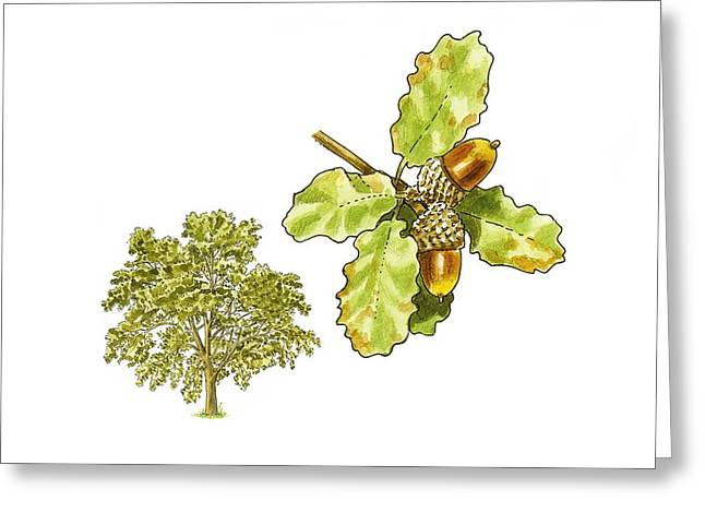Acorn Greeting Cards - Downy oak (Quercus pubescens), artwork Greeting Card by Science Photo Library