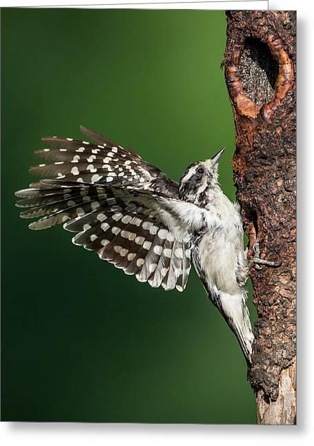 """downy Woodpecker"" Greeting Cards - Downy Woodpecker Female Greeting Card by Bill  Wakeley"