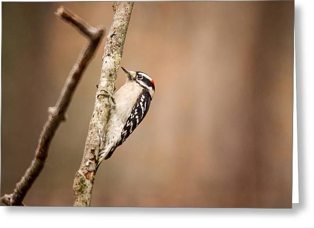 """downy Woodpecker"" Greeting Cards - Downy Woodpecker Hanging to Limb Greeting Card by Douglas Barnett"