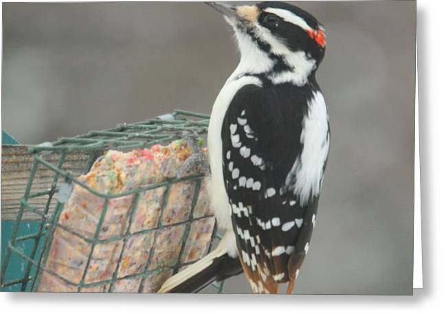 Downy Greeting Cards - Downy Woodpecker Greeting Card by Heidi Hermes