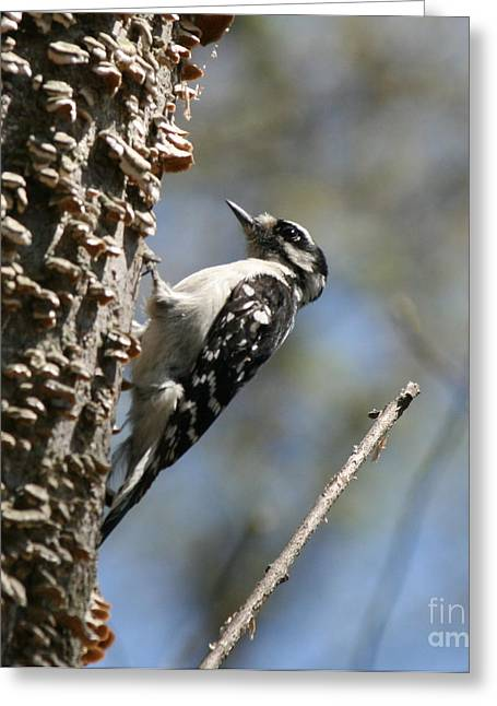 Neal Eslinger Photography Greeting Cards - Downy Woodpecker in Square  Greeting Card by Neal  Eslinger