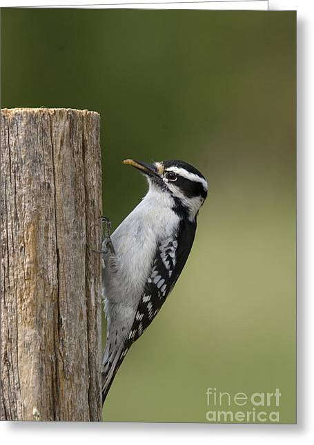 Downy Greeting Cards - Downy Woodpecker Greeting Card by Linda Freshwaters Arndt