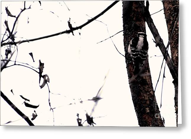 Weather Report Greeting Cards - Downy Woodpecker Greeting Card by Rachel Hersh